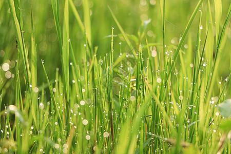 春天清晨的小草图片