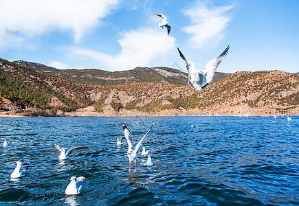 云南泸沽湖海上飞鸟海鸥图片