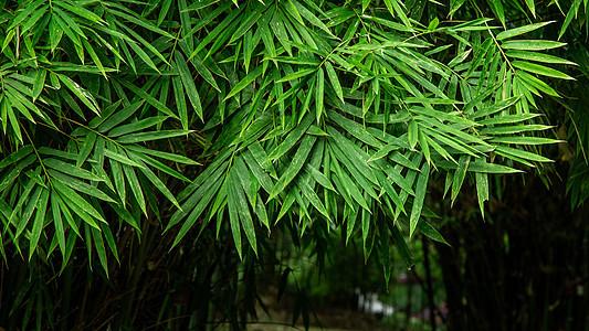 春天雨后的竹叶图片