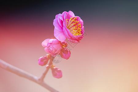 春天的花开榆叶梅图片