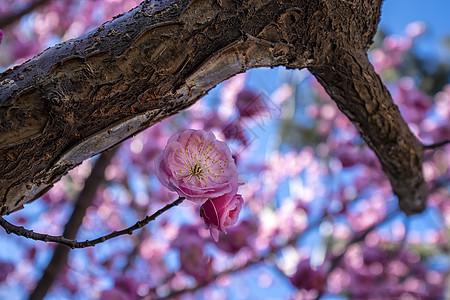 春天的花开了榆叶梅图片