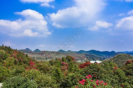 贵州百里杜鹃景区杜鹃花图片