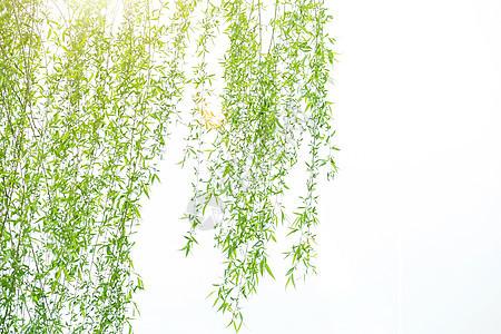 春天里嫩绿的柳树枝图片