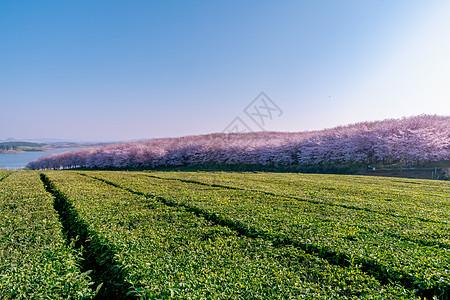 贵州平坝万亩樱花园图片