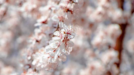 玉渊潭樱花图片