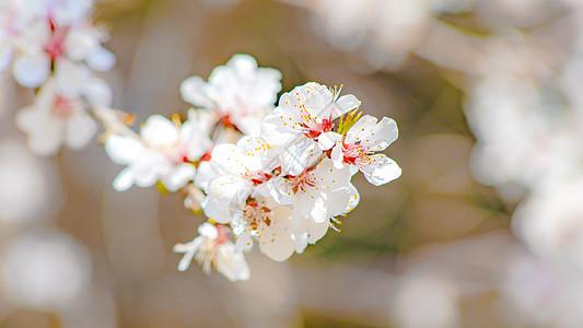 北京玉渊潭公园樱花绽放图片