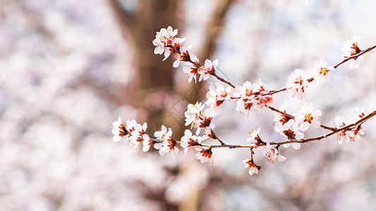 玉渊潭樱花绽放图片