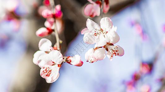 北京玉渊潭公园樱花图片
