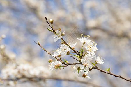 春季欧洲李花盛开图片
