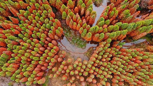 昆明捞鱼河湿地公园红水杉图片