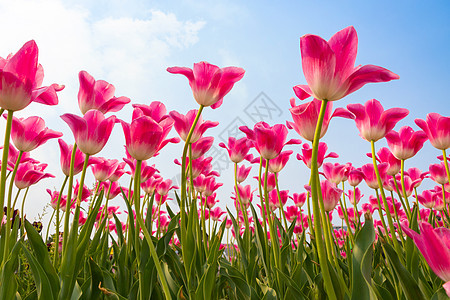 春日蓝天下盛开的郁金香图片