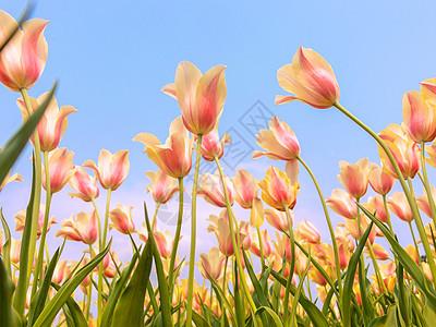 春日盛开的郁金香图片