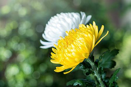 清明节菊花图片