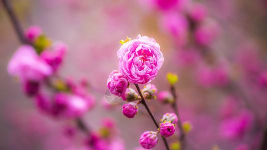 小桃红花图片