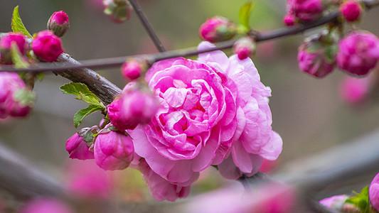 小桃红开花图片
