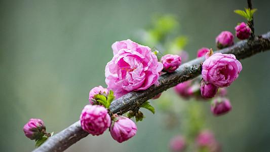 小桃红花朵图片