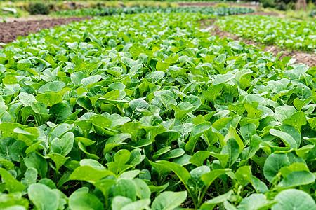 田地里的蔬菜图片