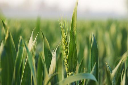 三四月份绿色小麦苗图片