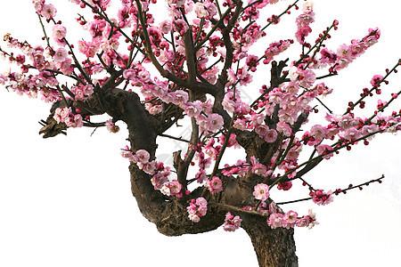 红梅盆景图片