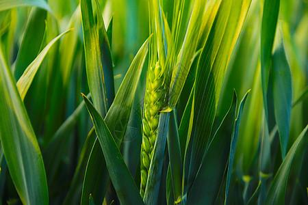 蓝天下的田园风光农村麦子图片