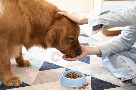 主人喂金毛犬吃狗粮特写图片