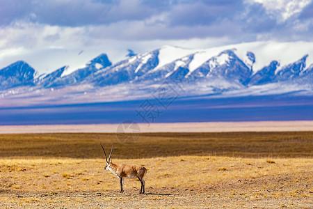 青海可可西里无人区藏羚羊图片