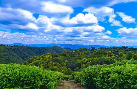 云南玉溪生态茶园图片