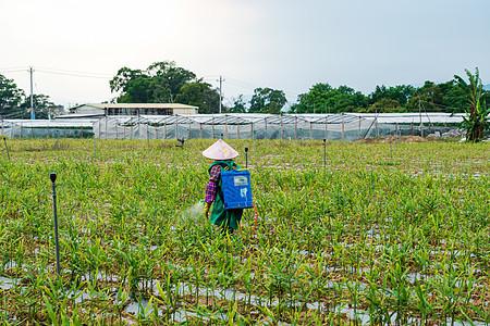 田地里劳作喷洒农药的农民图片