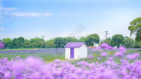 薰衣草花田里的小木屋图片