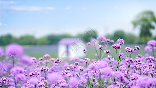 紫色花海小清新风景图片