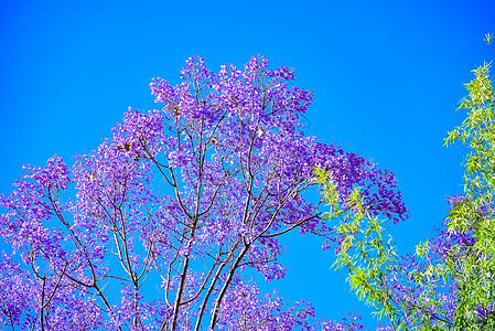 云南昆明蓝花楹盛开图片