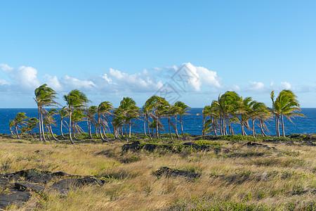 夏威夷火山国家公园的椰树林图片