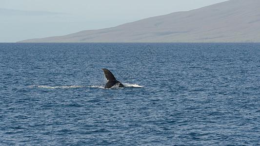 夏威夷出海观鲸图片