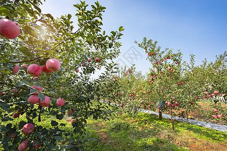 苹果果园丰收的果树图片