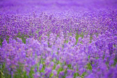 紫色浪漫薰衣草图片
