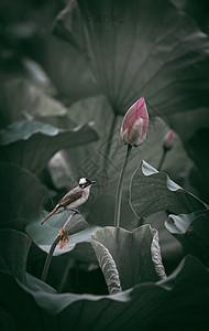 夏天的荷花荷叶与白头翁鸟图片
