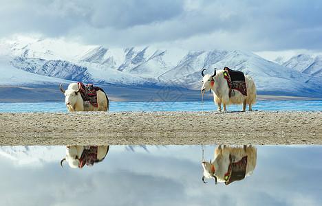 茶卡盐湖牦牛图片图片