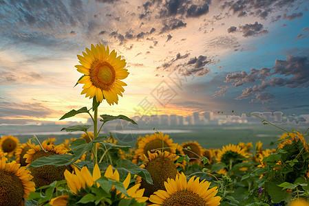 辽宁花园口向日葵图片图片