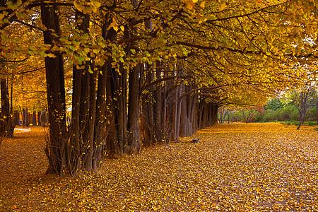 秋日银杏树林里的暖阳图片