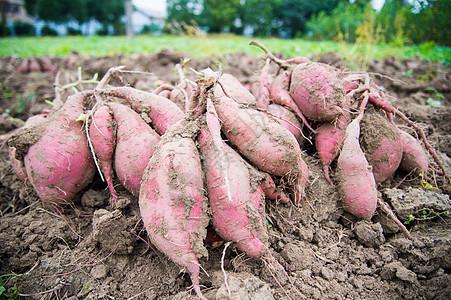 刚出土的红薯图片