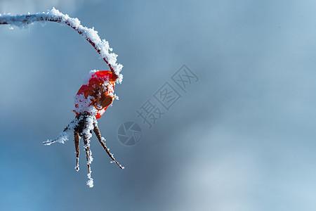 冬天冰霜覆盖的山刺玫图片