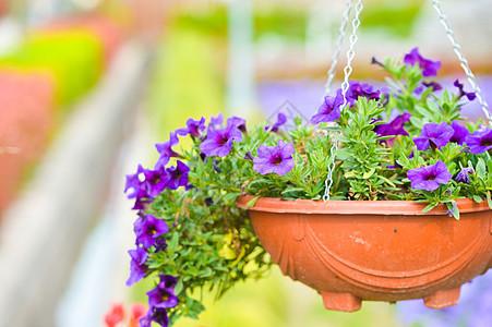 紫色喇叭花盆栽图片