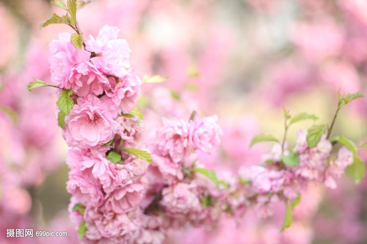 春天围棋桃花v围棋自然花草木兰梨花18届农心杯视频花卉图片