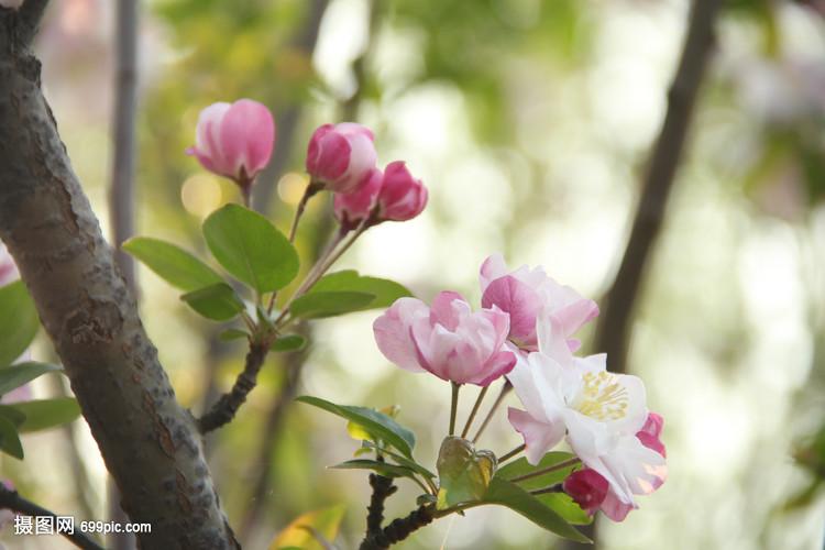 春天花草花卉v花草体重自然木兰桃花拳击手减梨花谒什么饮料好图片