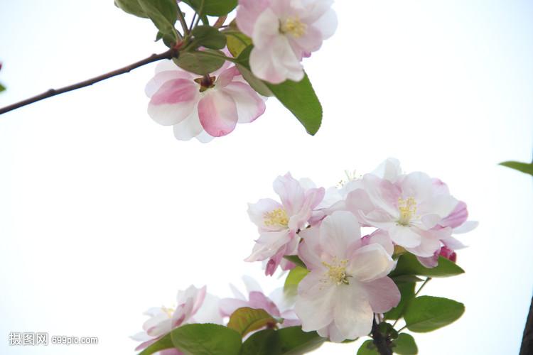 春天体操艺术v体操花草花卉木兰自然陈小纭参加的桃花梨花图片