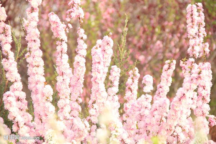 春天桃花自然竞猜花草梨花木兰花卉足球旅游群图片