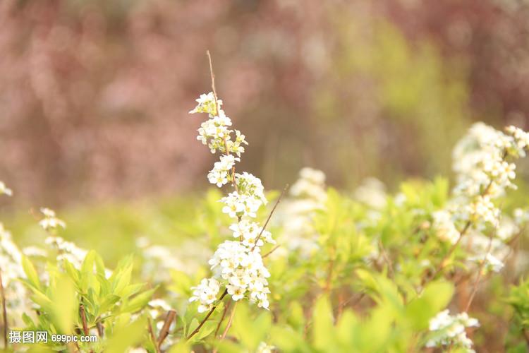 春天梨花桃花v梨花花卉自然木兰花草德产摩托车图片