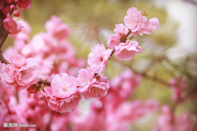 春天桃花自然v桃花球鞋梨花木兰花草wise冰花卉图片