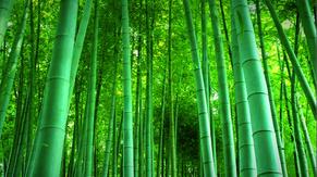 自然风竹林素材背景视频