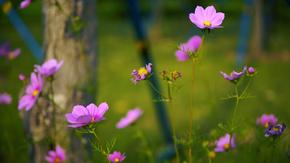 紫色太阳花